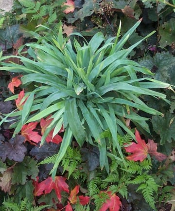 Carex platyphylla