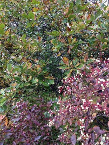 Cornus racemosa and Quercus bicolor