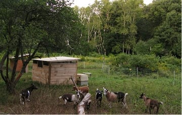 Six Nigerian goats graze happily in the meadow at Habitat.