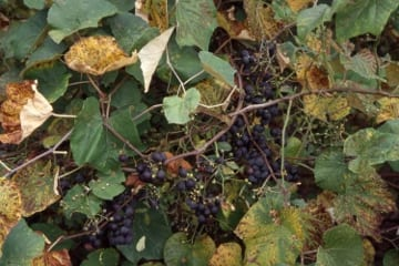 Preserve the tart fruit of the fox grape as jam or jelly. Photo: Russ Cohen
