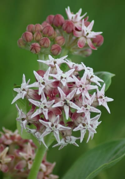 Asclepias speciosa is another butterfly favorite. Photo: Joe Powelka