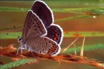 Karner Blue Butterfly_Lycaeides melissa samuelis_GeoffreyNiswender_360