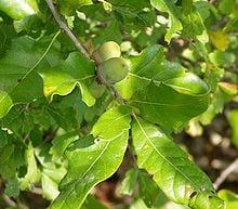 Oak leaves, acorns.Benjamin Bruce