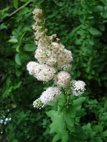 Meadowsweet (Spiraea latifolia) bears small white to pink flowers in midsummer.