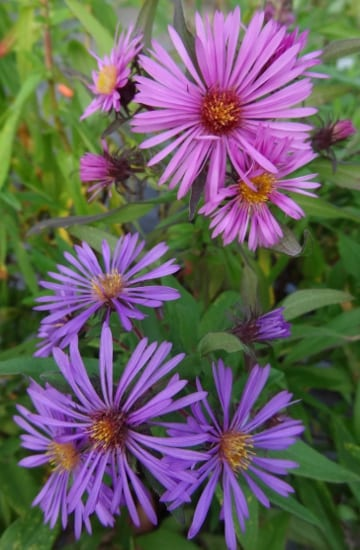 New England American-aster grown from seed demonstrates genetic diversity through a wide variety of flower color. Photo Cayte McDonough