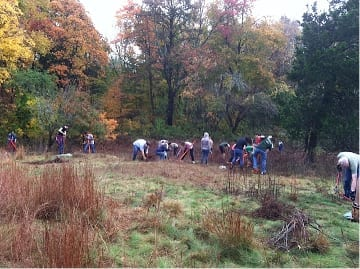 Volunteers pull buckthorn