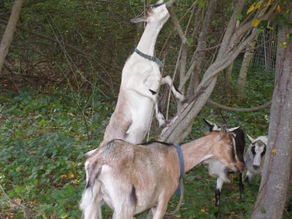 Goats prefer to eat plants at least four inches off the ground and given support will eat up into trees and shrubs.
