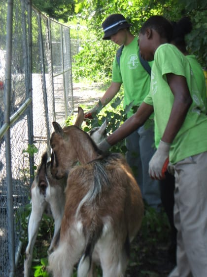 Members of Southwest Boston Conservation District Corporation's Green Team helped care for the goats on site.
