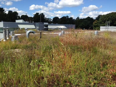 During the dry summer months, a diversity of grasses flower on this green roof.