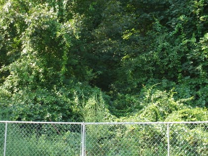 West Street Urban Wild in Hyde Park presented a toxic combination of invasive plants and poison ivy.