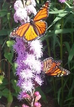 Monarchs.240