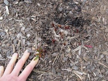 Missouri Primrose emerges the following spring.