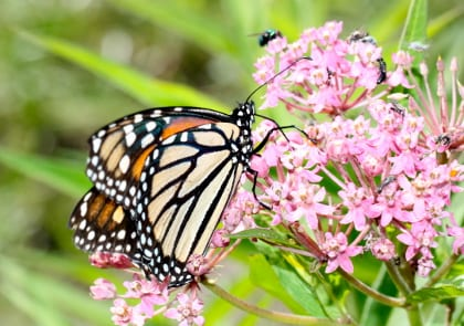 Monarch butterflies have experienced rapid decline partially due to loss of milkweed such as swamp milkweed shown here. Photo: Adam Varenhorst