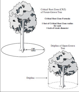 Examples of how a Critical Root Zone is measured. Many jurisdictions require a CRZ that is 1.5 times the diameter. A larger CRZ is recommended for trees of sensitive species or less than stellar condition. Source: Fairfax County, VA Public Facilities Manual
