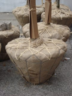NYC now receives trees with high quality rootballs.