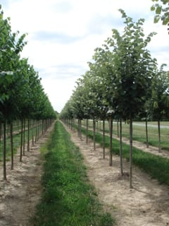 Trees in this row of Silver Lindens (Tilia tomentosa) have been grown to NYC's strict quality standards.