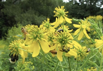 Honey bees, bumble bees, and green metallic sweat bees on wingstem. Photo: Nancy Adamson, The Xerces Society