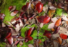 Freshly fallen leaves of blackgum (Nyssa sylvatica) add color to the ground layer of a West Virginia woods in October. Bacteria, fungi, and minute decomposers including springtails break down the leaves' organic matter, creating nutrient-rich humus.