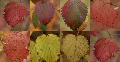 The variation in Viburnum dentatum leaves provide a beautiful range of color.