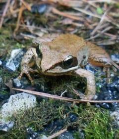 Wood Frog.