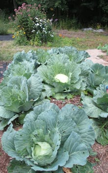 Cabbage did very well in the HK beds.