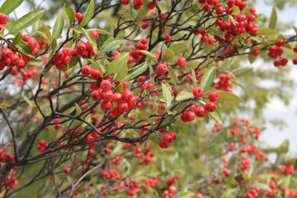 """Choke-Berries-IMG 2431 051013 121714"". Licensed under CC BY-SA 2.5 via Wikimedia Commons - http://commons.wikimedia.org/wiki/File:Choke-Berries-IMG_2431_051013_121714.jpg#/media/File:Choke-Berries-IMG_2431_051013_121714.jpg"