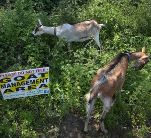 Goatscaping Invasive Removal