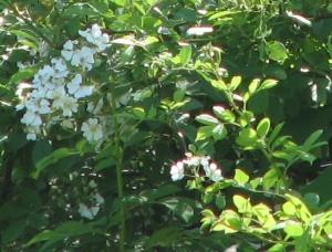 Multiflora Rose-1