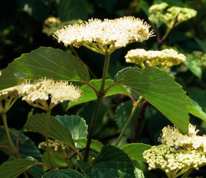 Native Shrubs To Consider For Ecological Landscapes In The Northeast