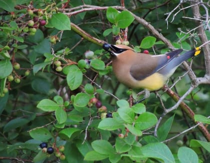 Waxwing on Higbush Blueberry.420