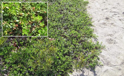 Bearberry (arctostaphylos uva ursi), which is seldom successful in the rich soils of cultivated plant beds, has set up home with abandon after its 2003 planting on the sandy shores of the lake.