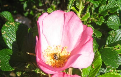 """At the time the original plants were chosen, our native roses (virginiana, palustris) were not locally available. Rosa rugosa """"Frau Dagmar Hastrup"""" was planted instead and has been well behaved, in addition to supporting native pollinators such as this Metallic Green Bee (yes, that's its real name!) If we were doing the project today, I would have planted the native roses instead as they are now widely available."""