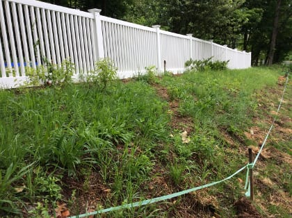 Pollinator plants were interplanted among existing roadside vegetation. As pollinator plants mature and more are added, undesirable plants like horsetail and poison ivy will be weeded out while others like clover, dandelion, and purlane remain.