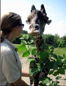 Beau loves our shipments of Japanese Knotweed. He is a 14 year old male giraffe at Franklin Park Zoo in Boston. Knotweed turns out to be nutritious natural forage for many of the herbivorous residents of the Zoo.