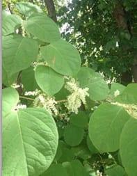 Knotweed leaves
