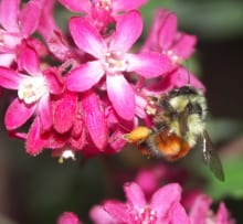 A black-tailed bumblebee (Bombus melanopygus) on a flowering currant (Ribes sanguineum).