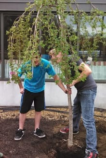 Sean DeFreitas and Travis Conley plant the Cherry Tree.