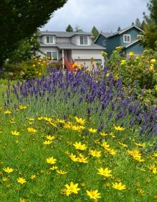 Threadleaf coreopsis (Coreopsis verticillata) and English lavender (Lavandula angustifolia) offer a pollinator feast along with large-flowered coreopsis (Coreopsis grandiflora), blanketflower (Gaillardia aristata), and a shrubby cinquefoil (Potentilla fruticosa) .