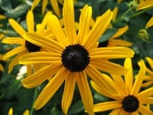 A number of different forms of Rudbeckia fulgida are in cultivation, all appearing to be long-lived and with a moderately spreading habit. One of those plants for which no one had a bad word.
