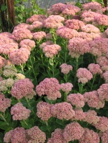 Sedum (Herbstfreude Group) 'Herbstfreude' comes out as a reliably long-lived, and relatively trouble-free plant.