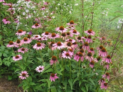 Echinacea purpurea and its various hybrids is now a very popular plant. Respondents however gave it the lowest rating for longevity, and a low rating for competitive ability. Sometimes short-lived species are reliable self-seeders, but not this one!