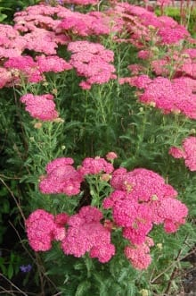 Achillea (Galaxy Series) All achilleas were reported to be relatively short-lived, and uncompetitive, although experience would appear to vary widely, particularly with longevity