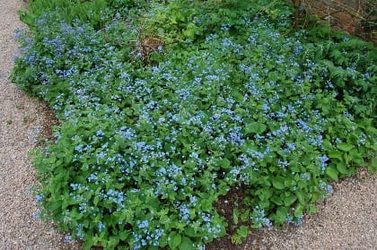 Brunnera macrophylla was generally reported to be long-lived and moderately competitive. The species appears to self-seed in many gardens; named cultivars appear to do this less often.