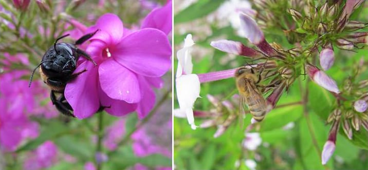 "Eastern carpenter bee preparing to rob Phlox paniculata 'Robert Poore"" (left) and European honeybee robbing nectar from Phlox paniculata 'Snow'. Photos by Keith Nevison."