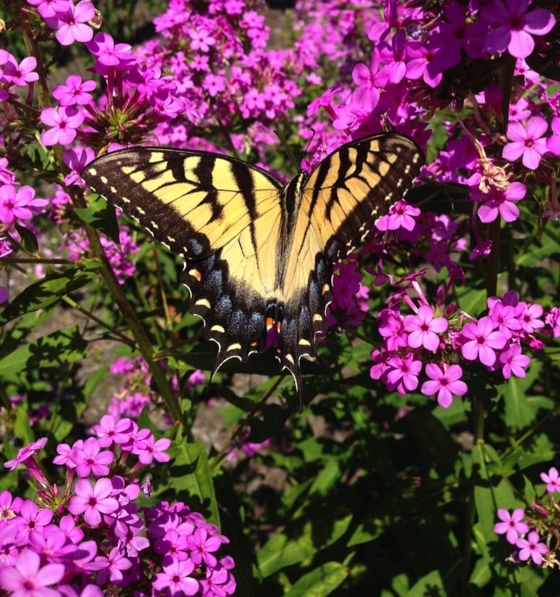 Female swallowtail butterfly on Phlox paniculata 'Jeana'. In the MCC trial, 'Jeana' was the most attractive phlox for pollinators. Photos by Keith Nevison