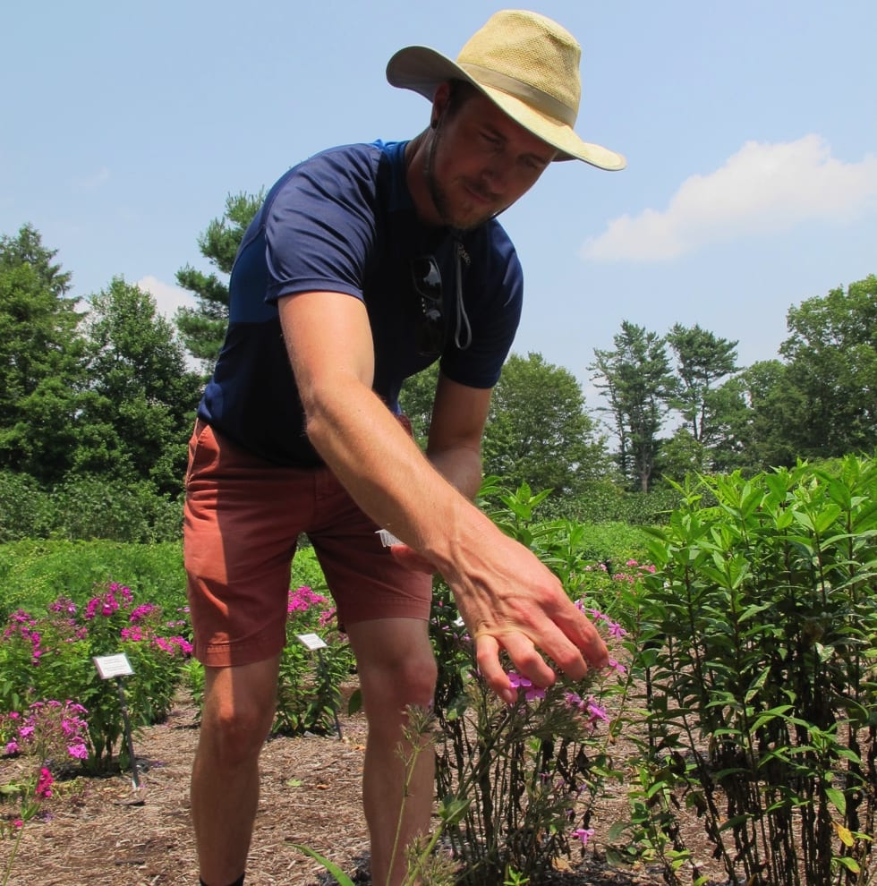 The author harvests phlox flowers to measure sucrose levels. Photo by Phoebe Connell.