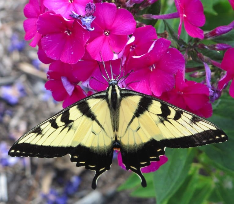 Male swallowtail nectaring on Phlox paniculata 'Düsterlohe'