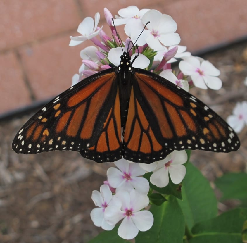 Female monarch butterfly nectaring on Phlox paniculata 'Lavelle'.