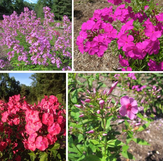 "There is a lot of variation among Phlox cultivars. Clockwise from upper left: Phlox paniculata ""Jeana', Phlox carolina 'Lil' Cahaba', Phlox paniculata 'Ditomdre' Phlox paniculata. Photos by Keith Nevison"