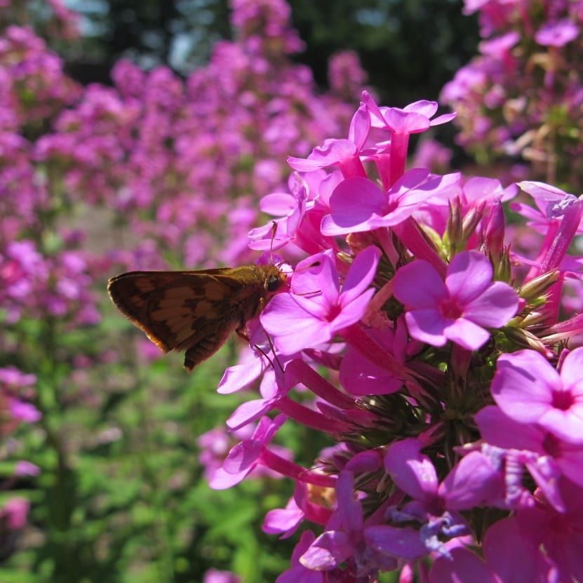 Silver-spotted skipper enjoys Phlox 'Lavelle' - the second most attractive phlox in MCC's trial in 2015. Photo by Keith Nevison.